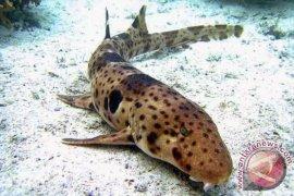 """Spesies """"hiu berjalan"""" ditemukan di Raja Ampat dan Halmahera"""