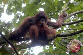 Temuan spesies orangutan tapanuli dirintis sejak 2011