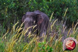 Kerusakan habitat picu lonjakan konflik gajah sumatera dengan manusia