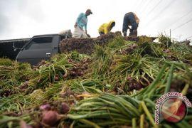 Jaga pasokan, Kementan perluas penanaman bawang merah pada musim hujan