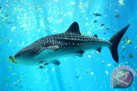KKP: perlindungan hiu paus sangat esensial