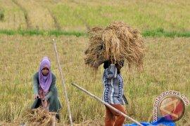 TNI kejar target serapan gabah petani Nagan Raya