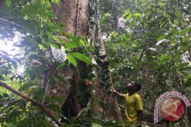 Polda Papua amankan 236 batang kayu merbau