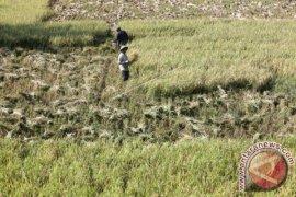 Produksi sementara padi Aceh Besar 181.660 ton