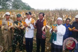 Money Turnover of Corn Sales Rp1,4 Trillion