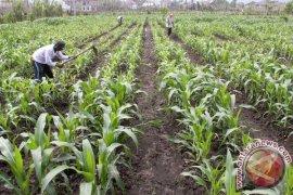 KTNA: jagung komoditas unggulan petani Aceh Jaya