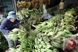 Buleleng kembangkan pisang organik