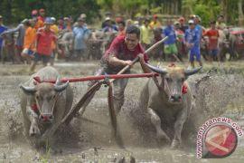 """""""Barapan Kebo"""" Sumbawa paling diminati turis asing"""
