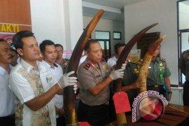 Polda Jambi selidiki sindikat perdagangan gading gajah