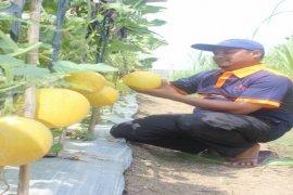 Petani Tangerang Berhasil Panen Melon Benih Ewindo