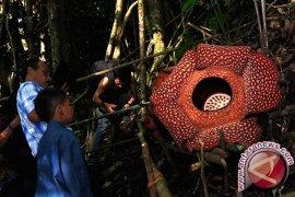 Habitat Rafflesia Berkelopak Enam Dipadati Pengunjung