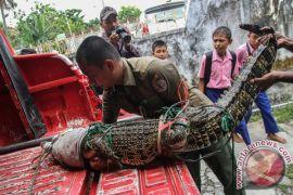 Buaya masuk permukiman warga Tanjungmutiara, Sumbar