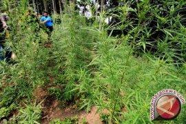 TNI-Polisi temukan dua hektare lahan ganja di Nagan Raya