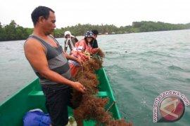 Kepulauan Sula fokus budi daya ikan dan rumput laut