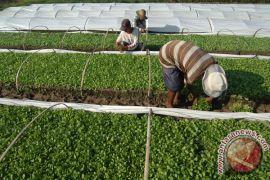 Petani beli air guna menyirami tanaman tembakau