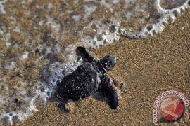 1.000 tukik dilepas di Pantai Taman Kili-kili