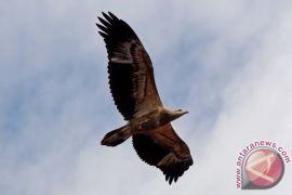 Tujuh elang bondol dilepas ke kawasan Karang Gading