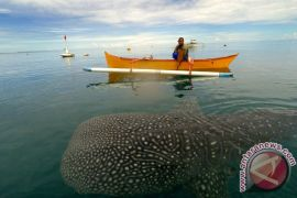 Hiu paus terjerat jaring nelayan di Pulau Lemukutan