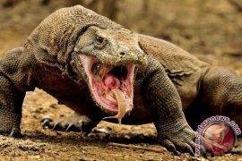 Komodo, populasinya capai 1.500-an ekor