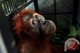 Kondisi terakhir orang utan merokok di Bandung Zoo