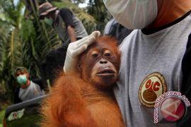 137 orangutan diselamatkan di Sumatra dalam lima tahun