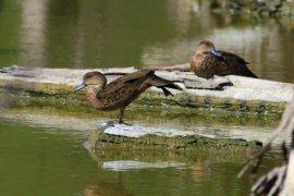 Perupa Gorontalo Kampanye Pelestarian Burung Melalui Lukisan