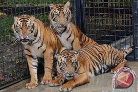 12 harimau huni TMSBK Bukittinggi