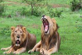 Populasi singa di India meningkat jadi 600