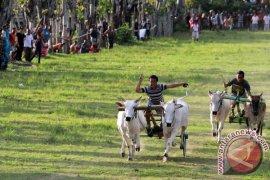 Warga Kabupaten Gorontalo Lestarikan Karapan Roda Sapi