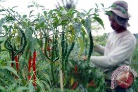 Disperindag: cabai rawit di pasar produksi lokal