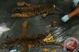 Tim Gabungan Tangkap Dua Pedagang Kulit Harimau