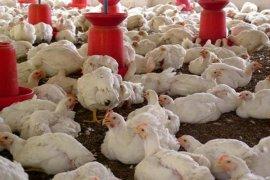Penurunan harga ayam hidup rugikan peternak