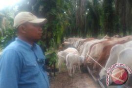 Hasil uji integrasi sawit-sapi berhasil tingkatkan produksi