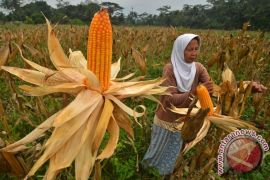 Banten siap panen raya jagung 700 hektare