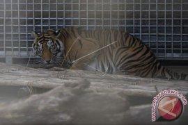 Pusat Rehabilitasi Harimau Sumatera Pertama Diresmikan