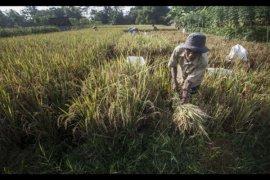 Peneliti : Kebijakan Khusus Agar Generasi Muda Bertani