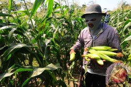 Petani mengembangkan jagung di sawah pascapanen padi