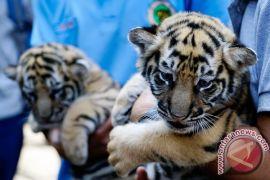 Harimau benggala lahir di Kebun Bintang Bandung
