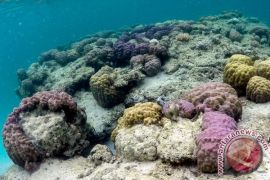 Ratusan koral dilepas di perairan kupang