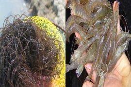 IPB Teliti Ekstrak Rumput Laut Untuk Kekebalan Udang Vaname