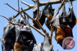 Guru Besar IPB: Kelelawar Buah Di Indonesia Berpotensi Zoonosis