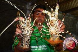 Penyelundupan Benih Lobster Terbanyak Digagalkan Pemerintah
