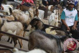 Jumlah hewan kurban Kota Pontianak tercatat 896 ekor