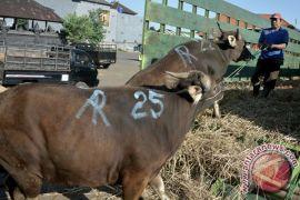 Akan disembelih di kantor polisi, sapi kurban mengamuk