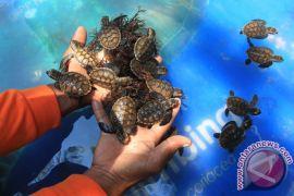 Komunitas Lestari Alam  beri kompensasi nelayan yang lestarikan penyu
