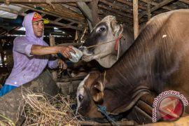 Puluhan sapi di Mukomuko mati akibat jembrana