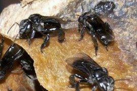 Budi Daya Lebah Trigona Membantu Pelestarian Hutan