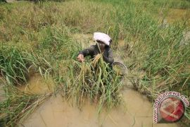 Puluhan Hektare padi di Banyumas roboh