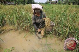 Pengamat: Asuransi padi perlu koordinasi efektif dengan kelompok usaha tani
