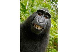 Selfie monyet: masalah hak cipta foto akhirnya terselesaikan
